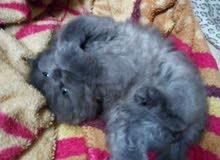 قطه هملايا ازرق