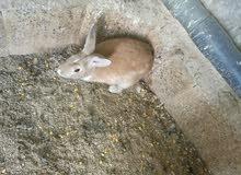 ارانب شغالات