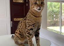 savanna hybrid cat urgent sale