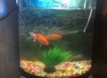 حوض سمك مستعمل مع ثلاث  اسماك