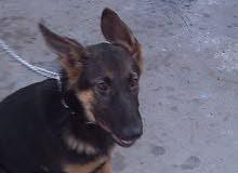 جرو كلبة ولف بلجيكي العمر 3شهور للبيع