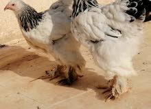 دجاج براهما كولومبي كونك