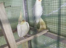 طيور كوكتيل مزاويج