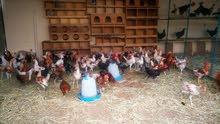 دجاج عماني كبار للبيع