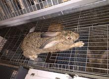 مجموعه أرانب ذكور للبيع