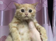 قط شيرازي ذكر عمر شهرين ونصف