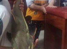 سمكة ردتيل حجم كبير جداً