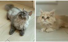 قطط للبيع ( ذكر شيرازي - أثثى بيكي فيس )