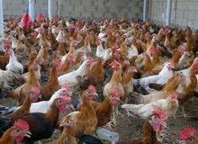 دجاج الدار مهجن العمر 4 شهور الحبه 35 اذا مذبوح 40