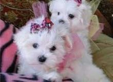Super Adorable Maltese Puppies maltese