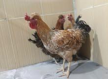زوج دجاج ابو كعكوله و دجاجه عربيه