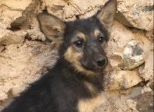كلبة جرمن بيور للبيع