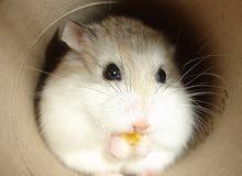 dwarf hamster الهامستر القزم