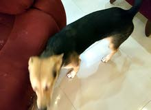 كلب جيرمن خمس شهور