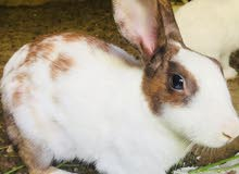i want to sale a white rabbit