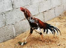 للبيع دجاج باكستانى