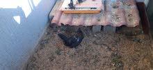 دجاجه وفروج
