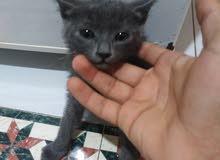 القط الازرق