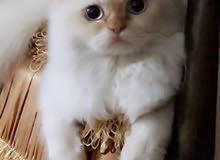 قطه الهملايا