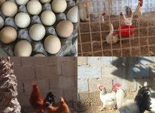 للبيع بيض فرنسي الابيض والأحمر والمنيم