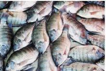 للبيع سمك بلطي سمك تربيه في احواص سمكً حي