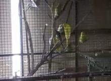 للبيع طيور هند تقريبآ 18 زوج الزوج الواحد 4.5 دينار بتشيلهم كلهم الزوج 4 دينار للتواصل 33256687