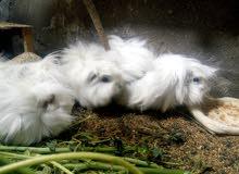 زوج ارنب غيني شعر طويل