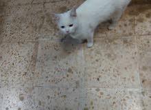 قطه انجورا انثاي للبيع
