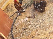 كوبيه زهري زهري ودجاجه استراليه  ريشه بريشه ودجاجه أستراليه عاديه تحتهم 3 فلال
