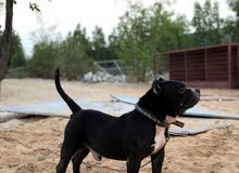 للبيع كلب امريكان بولي ذكر +هديه خيل خصي