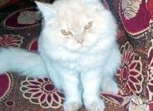 قط سيامى كيوت