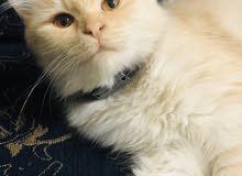 قط ذكر شيرازي صغير