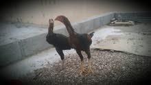 ديك ودجاجه باكستاني للبيع