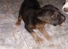 Rothwailer puppy