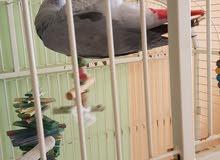 talking African grey parrot for sale says Assalamwalaikum, n more.
