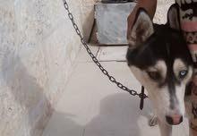 كلب هاسكي للبيع  العمر 3 شهور