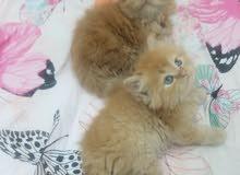 قطط مون فيس العمر  50يوم الواحد 700
