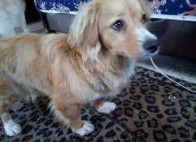 كلبة فرنش تيرير للبيع او للبدل على اجواز قطط