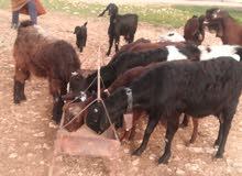 حيوانات للبيع