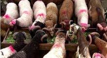 عدد 20 خروف للبيع شروة واحدة ( محافظة الشرقية - فاقوس - على طريق فاقوس الحسنية )