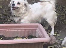 كلبه لولو فوكس للبيع العمر سنه وشهرين سعرها 175 مكاني بغداد لعوبه فوووول وذكيه