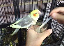 طيور كروان غر للبيع