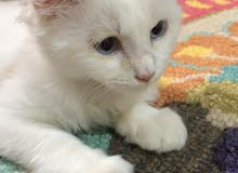Turkish Angora Pure(female)