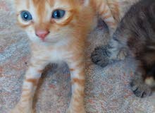 sale for one day (thursday) beautiful kittens ages with huge tails