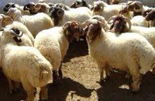 خروف العيد ديلفري لاسيوط ومراكزها