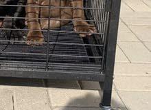 كلب للبيع امريكان بولي american bully for sale