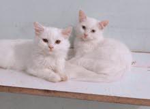 قطط اناث شيرازي العمر 4 اشهر