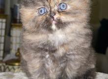 قطة تورتيلا عمر 50 يوم للبيع