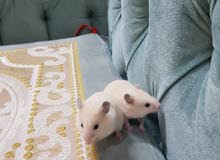 Baby Hamsters 1 month old for sale