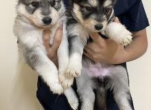جراوي الاسكان مالموت alaskan malmout puppies